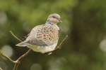 Suffolk MP to champion plight of Turtle Doves Credit: RSPB